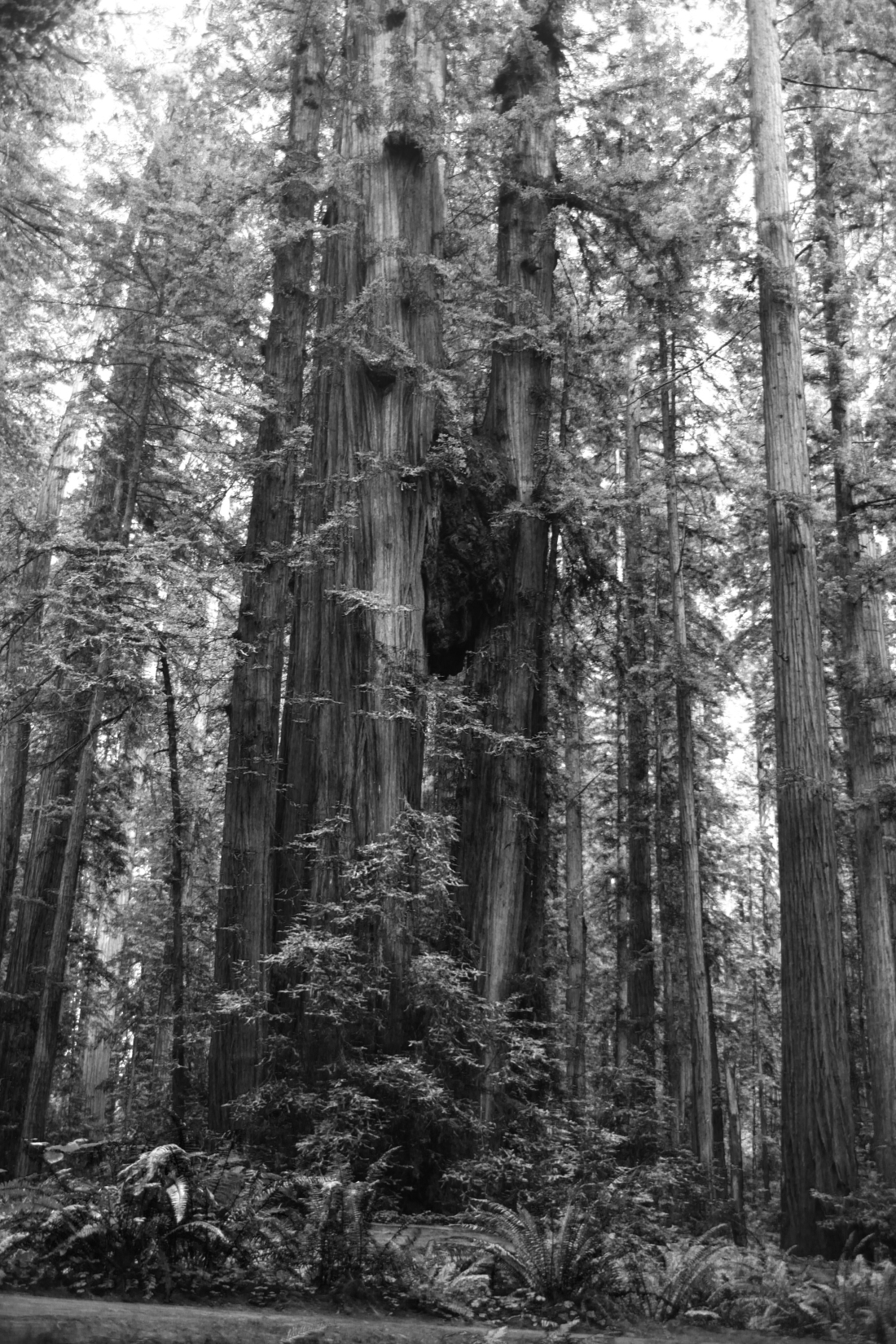 5467 Big Trees in Cal BW