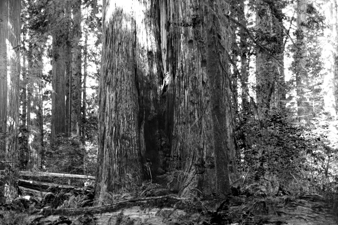5480 Big Trees BW